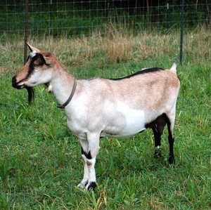 Альпийская порода коз: общая характеристика, как ухаживать, преимущества и недостатки