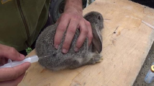 Вакцина Раббивак инструкция по применению, дозирование для кроликов от ВГБК