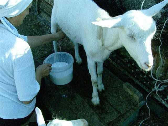 Мастит у козы: лечение в домашних условиях, Мастиет Форте, народные средства