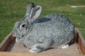 Откорм кроликов на мясо в домашних условиях, 2 рабочих способа, сколько растить до забоя