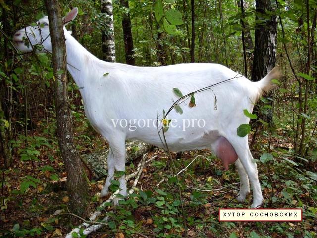 Сколько молока дает коза в сутки: как повысить удой, почему дает меньше