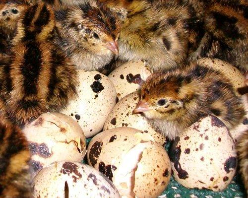Инкубация перепелиных яиц в домашних условиях: температура и влажность
