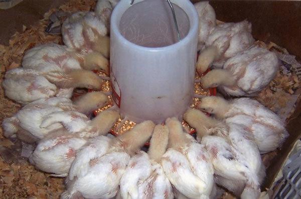 Чем кормить бройлеров в домашних условиях для быстрого роста цыплят