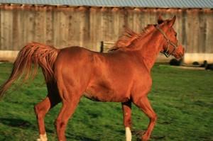 Самая быстрая лошадь в мире: особенности породы, максимальная скорость