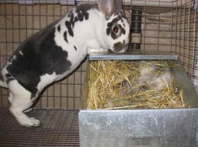 Беременность у кроликов: сколько длится и сколько кроликов может принести крольчиха{q}
