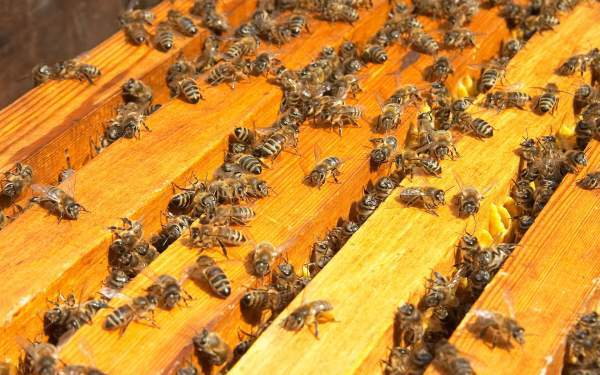 Как размножать пчел искусственным путем: особенности, способы, процесс