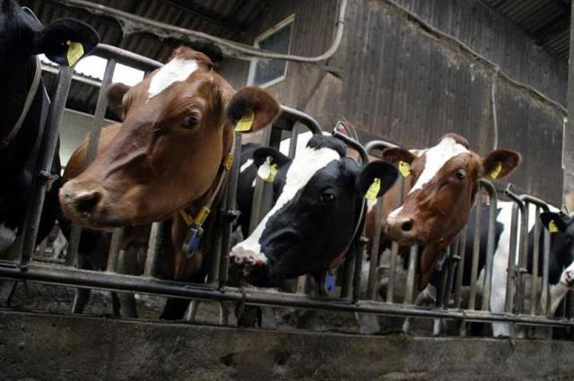 Кальция борглюконат для животных, инструкция по применению в ветеринарии, как колоть, дозировки