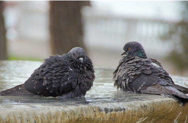 Орнитоз у голубей: симптомы и лечение, опасно ли для человека