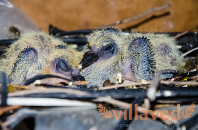 Чем кормить птенца голубя в домашних условиях можно и нельзя, правильный рацион по неделям