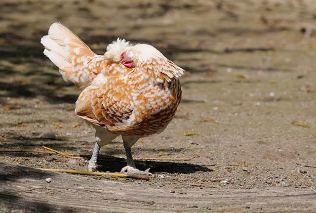 Пероеды у кур: как избавиться, чем обработать от пухоеда, средства для лечения