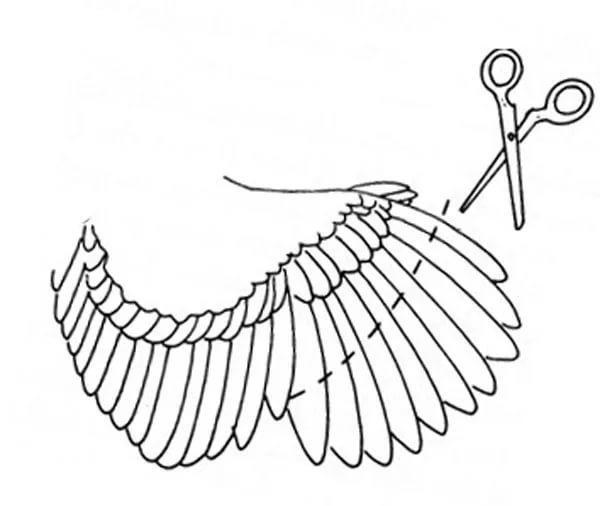 Как подрезать крылья курам, индюкам, гусям и уткам чтобы не летали, фото и видео