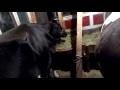 Парез у коровы после отела: симптомы и лечение