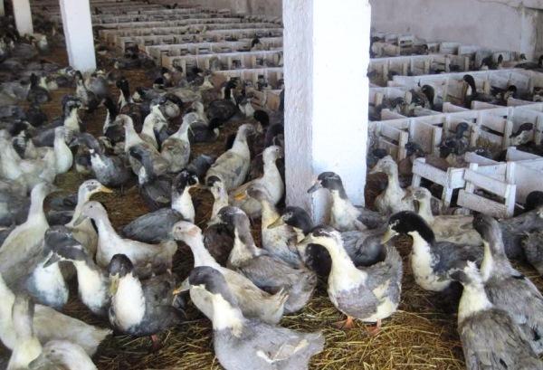 Утка голубой фаворит: описание породы, выращивание и разведение в домашних условиях