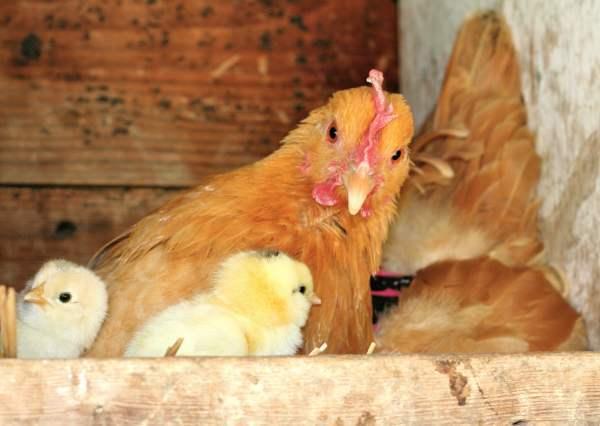Как курица выводит цыплят