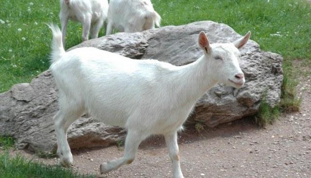 У козы понос что делать, причины диареи у козлят, как лечить в домашних условиях