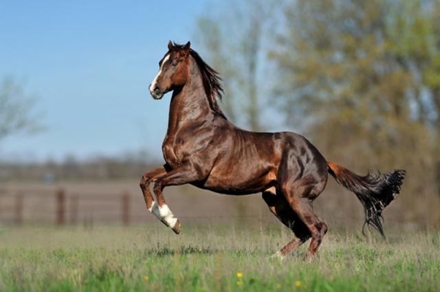 Английская порода лошадей: характерные особенности и правила ухода