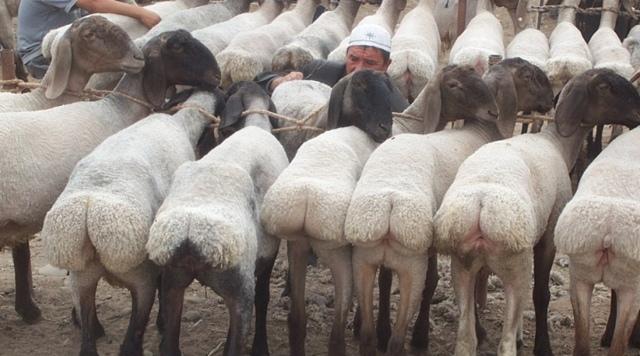 Курдючный баран: что такое курдюк и где он находится