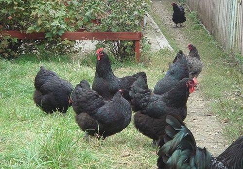Породы черных кур: Московская, Русская, Маран, Австралорп, Доминант
