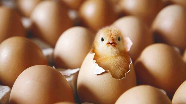 Вылупление цыплят: сколько времени, процесс, через какое время после оплодотворения