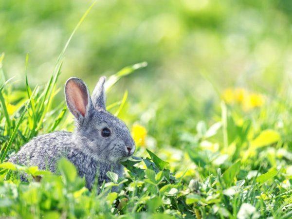 Глисты у кроликов лечение и первые симптомы, чем пропоить животных, что дать самостоятельно