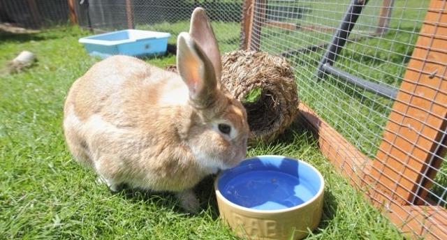 Можно ли кормить кроликов пшеницей, можно ли давать ячмень, овес, кукурузу