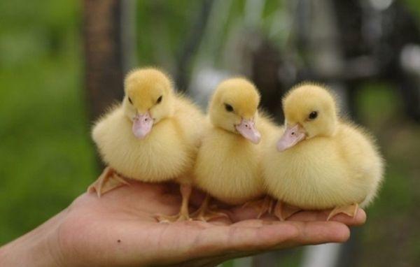 Как отличить утку от селезня, определяем пол утки с первых недель