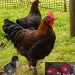 Куры Маран – описание породы птицы с шоколадными яйцами