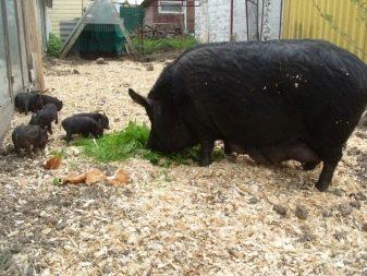 Кармалы порода свиней - описание, характеристика, уход и кормление