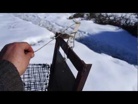Как поймать хорька, ласку или куницу и избавиться от хищника в курятнике