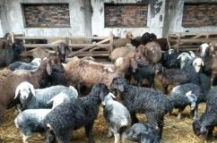 Гиссарская порода овец: характеристика, разведение и содержание, фото и видео