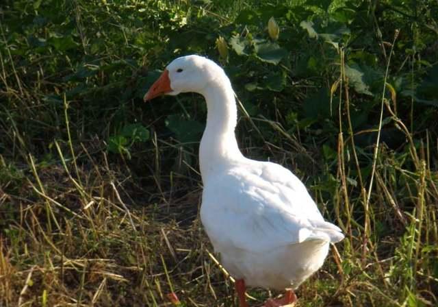 Гуси линда: выращивание в домашних условиях, характеристика Линдовской породы