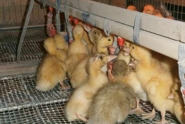 Энрофлон для птицы, инструкция по применению, дозировка: для цыплят, кур и других животных