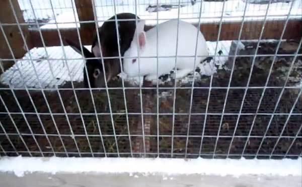 Содержание кроликов зимой на улице в домашних условиях: зимние клетки, как поить, разведение
