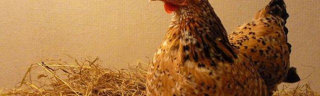 Как отучить курицу от насиживания яиц: 7 проверенных методов