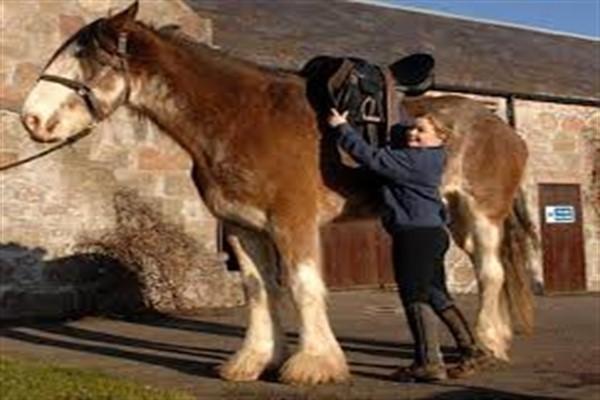 Самая большая лошадь в мире, характеристики и внешние особенности крупных коней