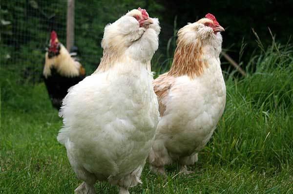 Фавероль (лососевая) порода кур: описание и преимущества, фото