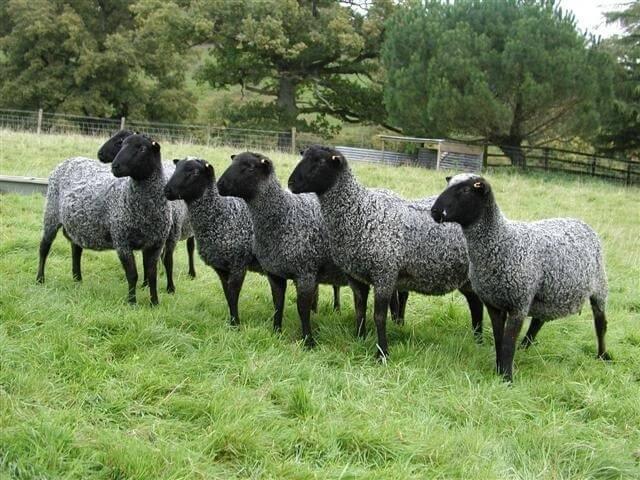 Разведение овец в домашних условиях для инструкция для начинающих