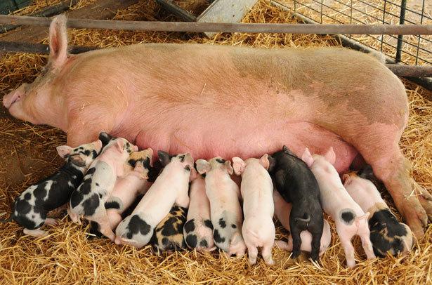 Опорос вьетнамских свиней первый раз: сколько ходит беременная, вынашивает поросят