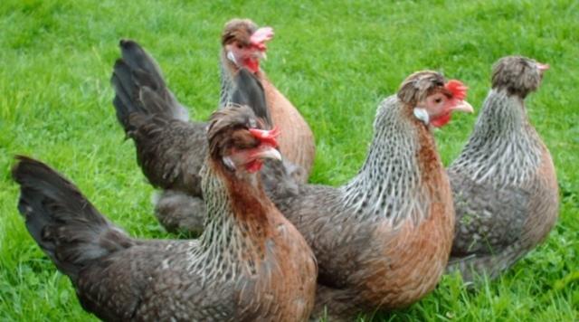 Куры Легбар: описание и характеристика породы с голубыми яйцами