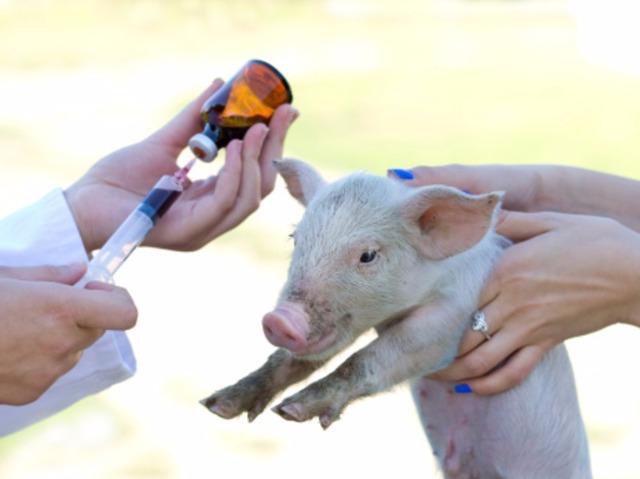Почему поросята плохо едят и плохо растут: как исправить, как заставить свиней есть